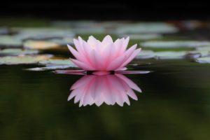 水に浮かぶ蓮の花薄いピンク